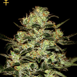Moby Dick Feminised Seeds By GHSC