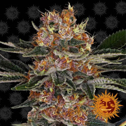 Purple Punch Feminised Seeds