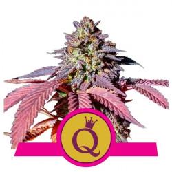 Purple Queen Feminised Seeds