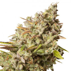 Royal Gorilla Feminised Seeds