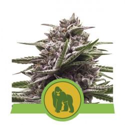 Royal Gorilla Auto Feminised Seeds