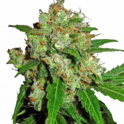 Sensi Skunk Feminised Seeds