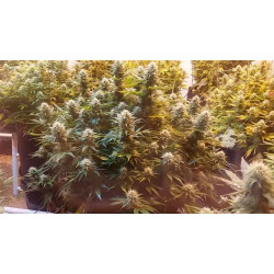 Super Kush Feminised Seeds