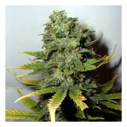 Super Skunk Feminised Seeds - 5