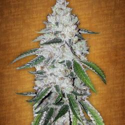West Coast O.G. AutoFlowering Feminised Seeds by Fast Buds