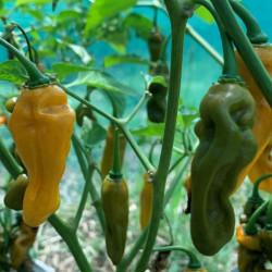 Flourescent Mustard Scorpion