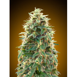 00 Cheese Auto Feminised Seeds
