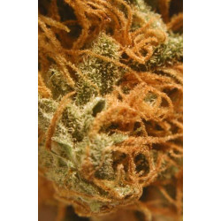 BC Cheese Feminised Seeds