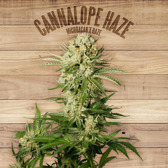 Cannalope Haze Feminised Seeds