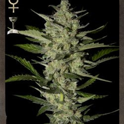 Green House Cheese Feminised Seeds