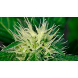 Ginger Punch (Hobbit) Auto Feminised Seeds