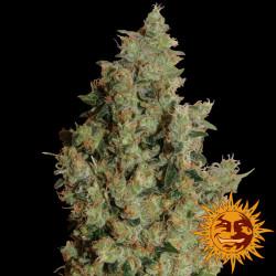 Tangerine Dream Feminised Seeds