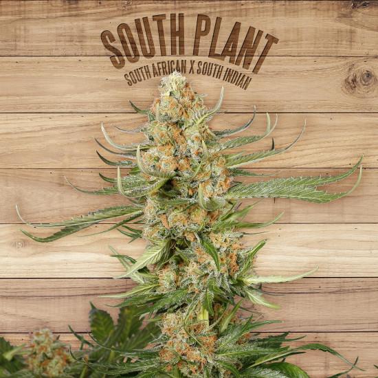 South Plant Feminised Seeds
