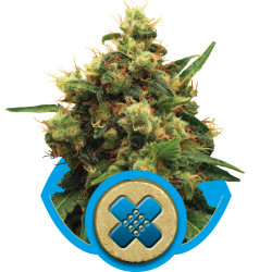 Painkiller XL Feminised Seeds