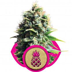 Pineapple Kush Feminised Seeds